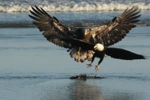 hawk & eagle