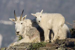 mountain goats (donald m jones Minden Solent)